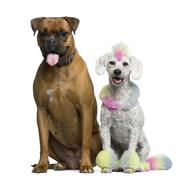 Poodle with multi-colored hair and mohawk, 12 months old, sitting with Boxer in  - stock photo