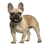 French Bulldog puppy, 7 months old, standing in front of white background - stock photo