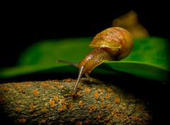 Closeup of snail on the move revealing great details in natural setting - stock photo