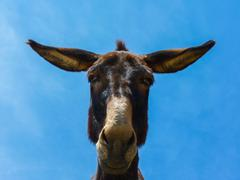 Cute funny mule - stock photo