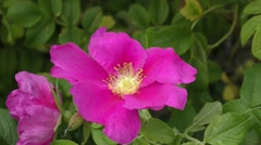 Red flower dog rose swaying in the wind Stock Footage