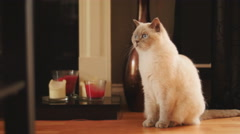 Georgeous cat sits in her luxury home 4K Stock Footage