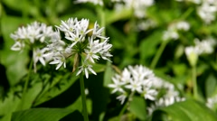 Wild garlic in spring Stock Footage