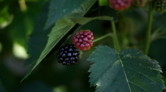 Blackberry (Rubus Genus) Bush - stock footage