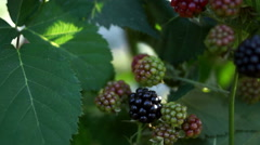 Blackberry (Rubus Genus) Bush - stock footage