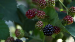 Stock Video Footage of Blackberry (Rubus Genus) Bush