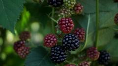 Blackberry (Rubus Genus) Bush Stock Footage