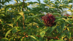 Elderberry, Black Berries Stock Footage