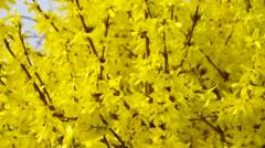 Early forsythia flowers in spring Stock Footage
