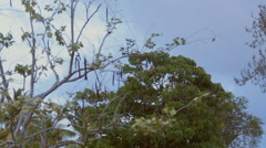 BLACKHAWK HELICOPTER passing behind jungle trees Stock Footage