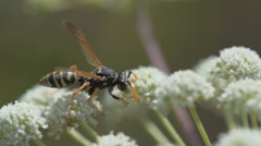 Wasp On Flowers slow motion Stock Footage