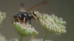 Wasp On white Flowers slow motion Stock Footage