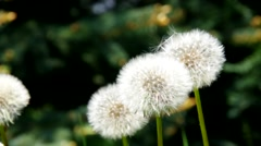 Dandelion flowers in spring Arkistovideo