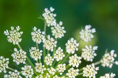 Daucus carrota Queen Anne's Lace - stock photo