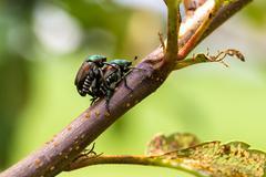 Japanese Beetles Popillia japonica Mating - stock photo