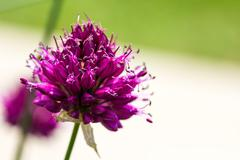Drumstick Allium Flower Bloom - stock photo