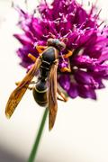 Drumstick Allium Flower Bloom and Wasp - stock photo