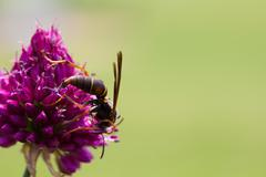 Stock Photo of Drumstick Allium Flower Bloom and Wasp