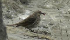 A Eurasian rock pipit is shaking its body with a worm in its beak Stock Footage