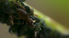 Ant and aphids on a plant - stock footage