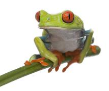 Red-eyed Tree Frog, Agalychnis callidryas, in front of white background - stock photo