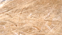 Wheat field low angle shot in bright daylight Stock Footage