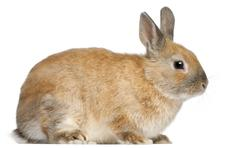 Dwarf rabbit, 6 months old, in front of white background - stock photo