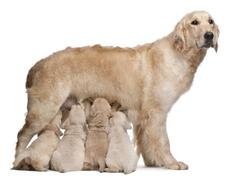 Golden Retriever mother, 5 years old, nursing and her puppies, 4 weeks old, in f - stock photo