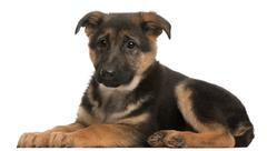 Stock Photo of German Shepherd puppy, 3 months old, lying in front of white background