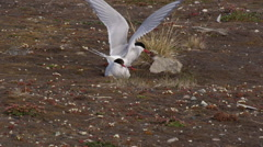 Arctic Terns tend to speckled baby - stock footage