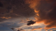 Flying Bats Swarm Swirl Dramatic Sunset Sky Slowed Motion Stock Footage