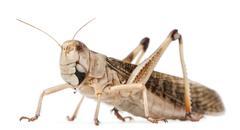 Migratory locust, Locusta migratoria, in front of white background - stock photo