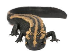 Laos Warty Newt, Paramesotriton laoensis, in front of white background - stock photo