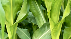 Corn Field Detail - stock footage