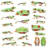 Red-eyed Treefrogs, Agalychnis callidryas, in front of white background Stock Photos
