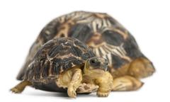 Radiated tortoise, Astrochelys radiata, 3 weeks old, in front of white backgroun Stock Photos