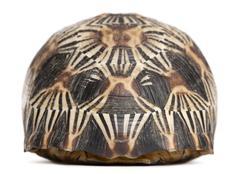 Radiated tortoise, Astrochelys radiata, in front of white background - stock photo
