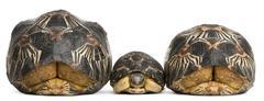 Three Radiated tortoises, Astrochelys radiata, in front of white background Stock Photos