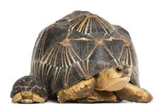 Radiated tortoise and baby, Astrochelys radiata, in front of white background Stock Photos