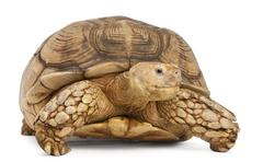 African Spurred Tortoise, Geochelone sulcata, in front of white background Stock Photos