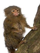 Pygmy Marmoset or Dwarf Monkey, Cebuella pygmaea, on log in front of white backg Stock Photos