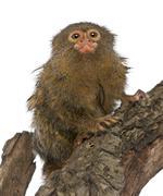 Pygmy Marmoset or Dwarf Monkey, Cebuella pygmaea, on log in front of white backg Stock Photos