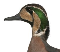 Baikal Teal duck, Anas formosa, in front of white background Stock Photos