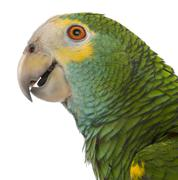 Close-up of Yellow-shouldered Amazon, Amazona barbadensis, in front of white bac Stock Photos