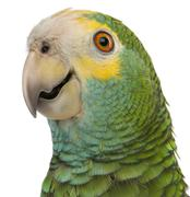 Close-up of Yellow-shouldered Amazon, Amazona barbadensis, in front of white bac - stock photo