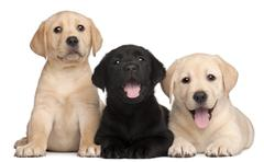 Stock Photo of Three Labrador puppies, 7 weeks old, in front of white background