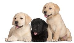 Three Labrador puppies, 7 weeks old, in front of white background - stock photo
