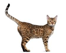 Stock Photo of Bengal cat, 7 months old, standing in front of white background