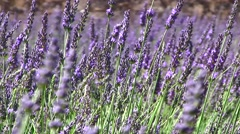 Lavender in a field, Upclose view, Provence, France Stock Footage