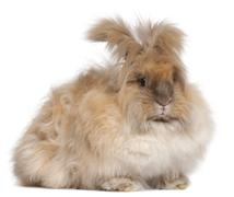 English Angora rabbit in front of white background - stock photo